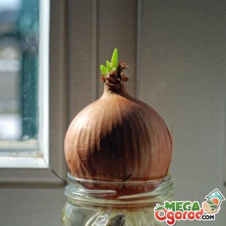 Подготовка луковиц к выращиванию