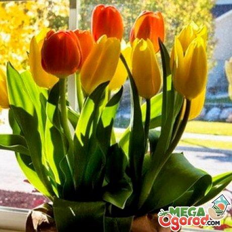 Выращивание тюльпанов и подготовка к цветению