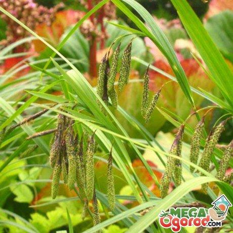 Особенности размножения и использования растения