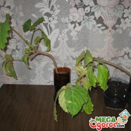 Тетрастигма вуанье: описание, агротехника и применение растения
