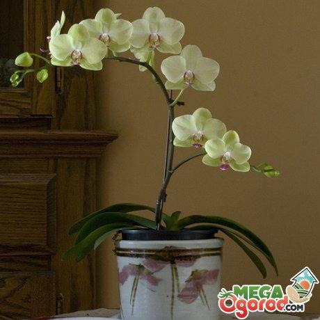 Болезни и вредители орхидеи