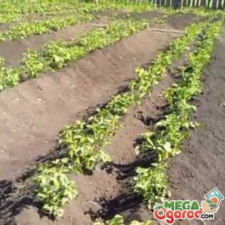 Выращивание картофеля по методу Митлайдера