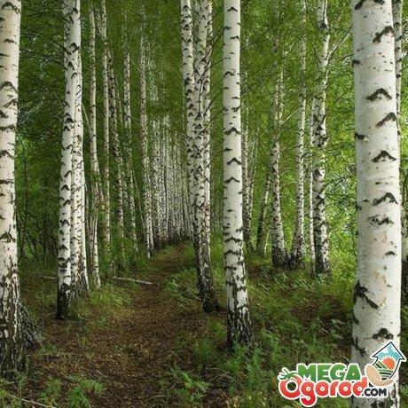 Культивирование дерева