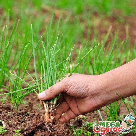 Другие методы получения зеленого лука