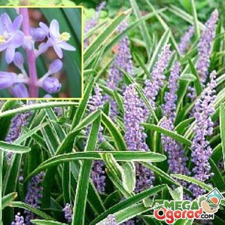 Лириопе: описание, виды, выращивание и профилактика заболеваний растения