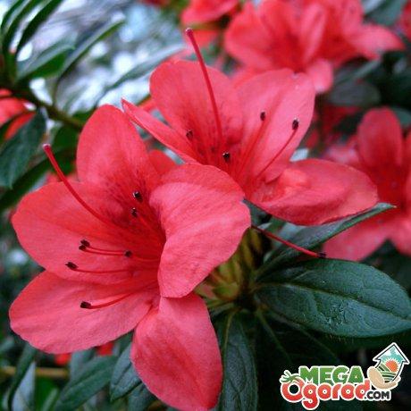 Секреты красивого цветения азалии