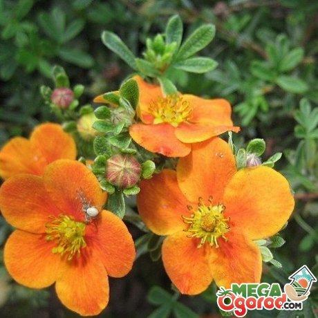 Лапчатка: сорта, посадка и уход за растением