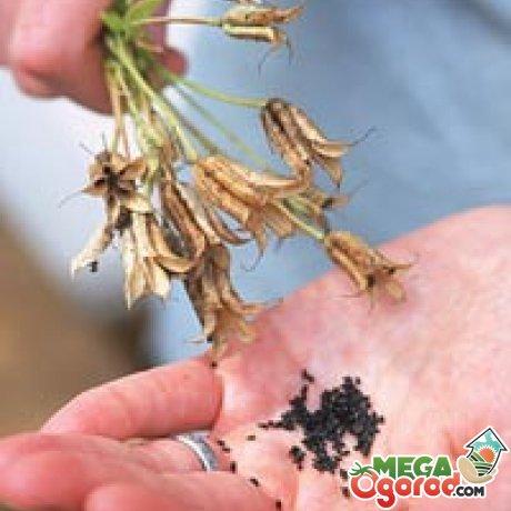 Как вырастить аквилегию в домашних условиях из семян