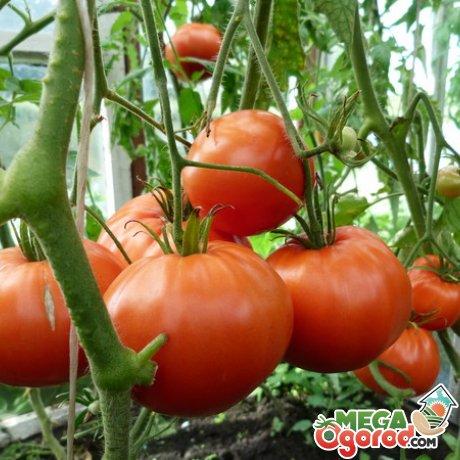 Несколько советов по выращиванию томатов в теплице