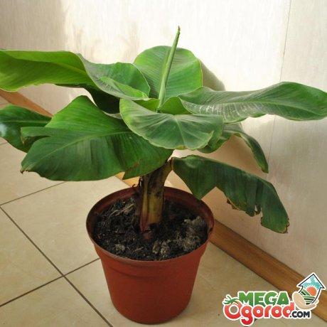 Особенности выращивания банана в комнатных условиях