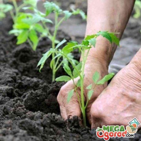 Подготовка томатов к высадке в теплицу