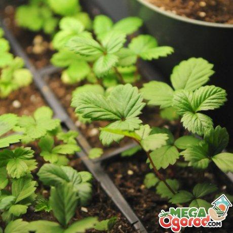 Выращивание земляники из семян: подготовка семян, почвы, посадка и уход за рассадой