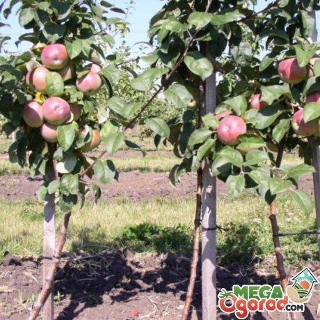 Посадка карликовой яблони