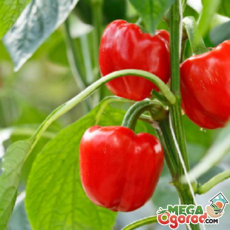 как правильно выращивать красный сладкий перец
