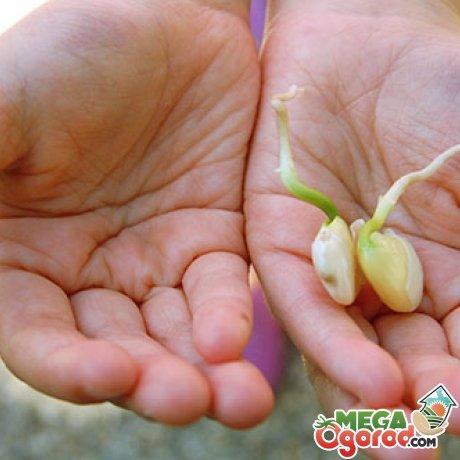 Выращивание фасоли лима