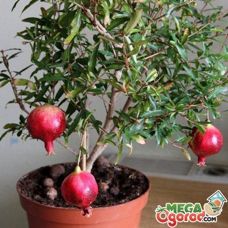 Сорта для выращивания в доме