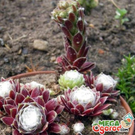 Выращивание цветка в саду и домашних условиях