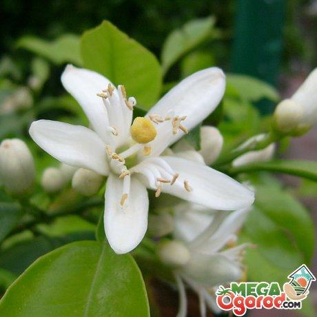 Растение лиана