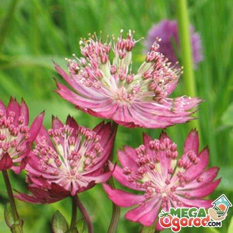 Способы размножения, посадка цветущего кустарника