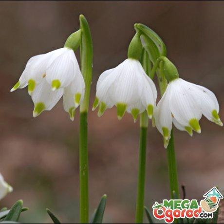 Лечебные свойства белоцветника