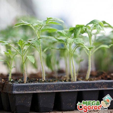 Выращивание рассады томата Хлебосольного