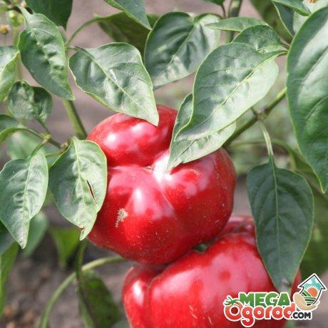 Агротехника перца Ратунда