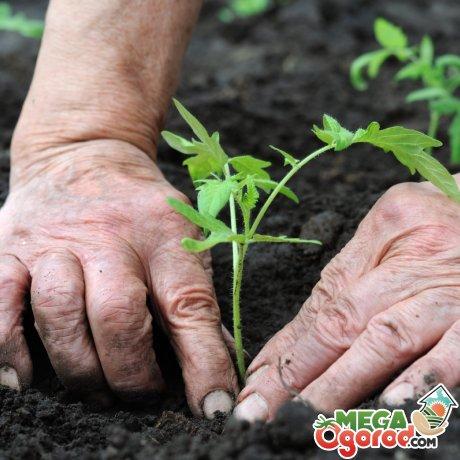 Высаживание рассады томата в почву