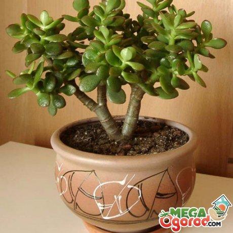 Толстянка – описание растения