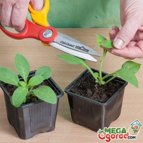 Как ухаживать за взрослой рассадой