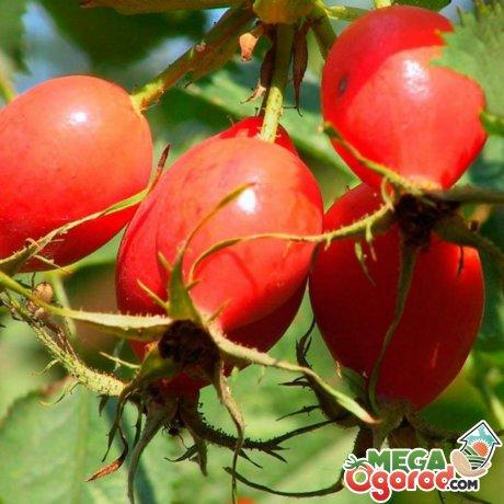 Применение ягод кустарника в медицине и косметологии
