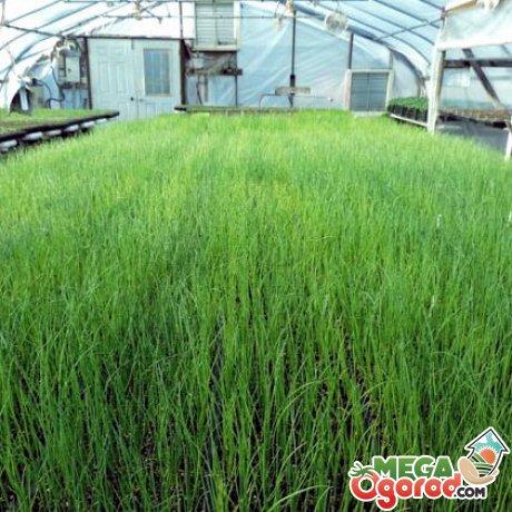 Технология выращивания зеленого лука