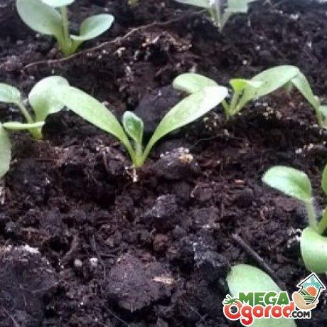 Размножение герберы семенами