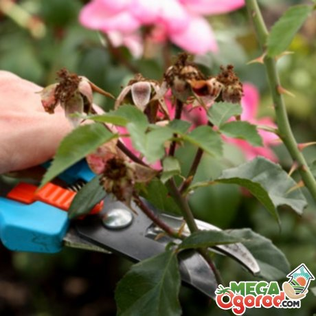 Если работы по формированию куста, подготовке к зиме проведены вовремя и правильно, то весной кустарник одарит ароматом пышных цветов.