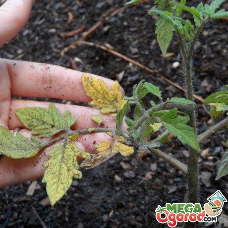Вредители и возможные проблемы при выращивании