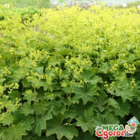 Условия выращивания манжетки мягкой