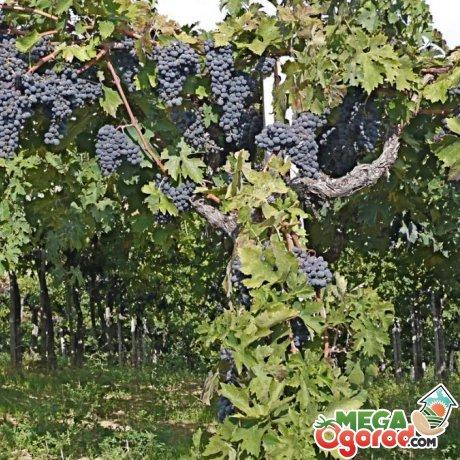 Причины запущенности винограда?