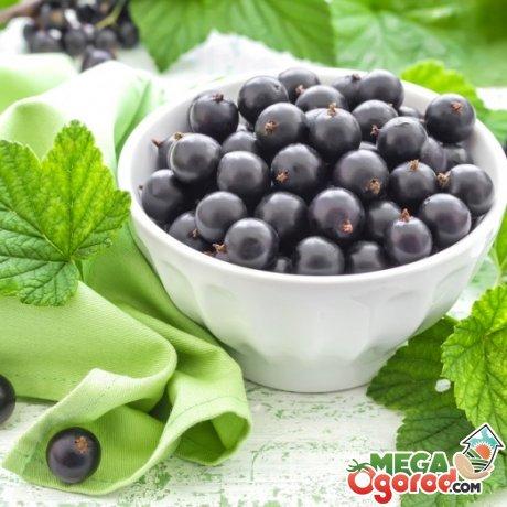 Полезные свойства и применение смородины