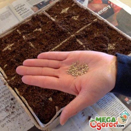 Высевание семян томата Финиш