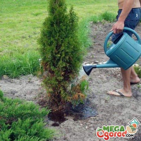 Как правильно ухаживать за корневой системой туи?