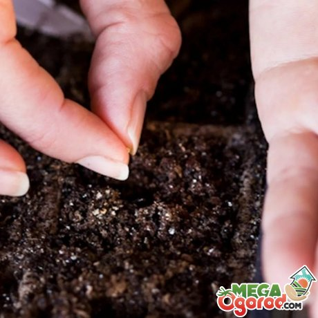 Сроки и правила посадки семян томата на рассаду