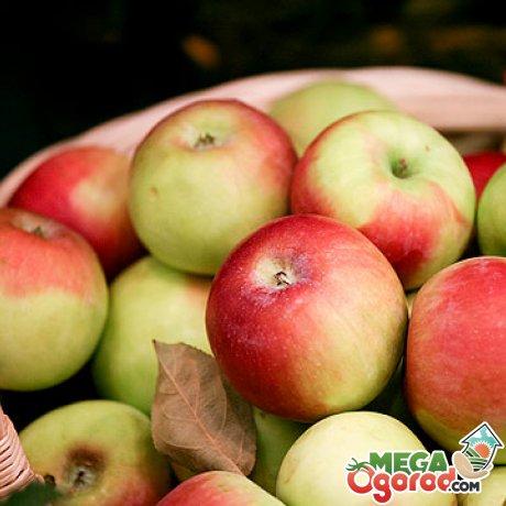 Зимние сорта яблонь для Подмосковья