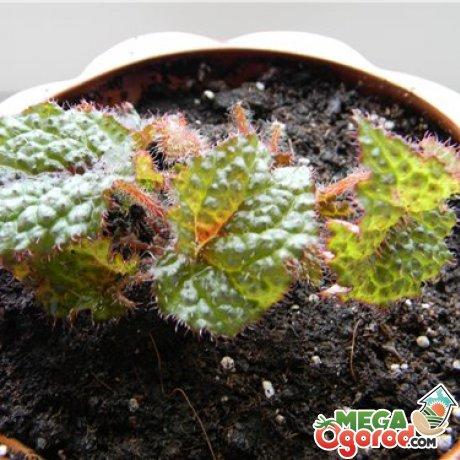 Уход за растением в домашних условиях
