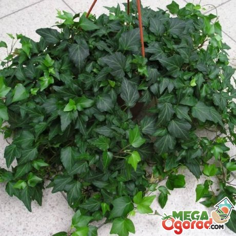 Выращивания плюща в саду и комнате