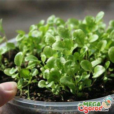 Выращивание лобелии с помощью семян