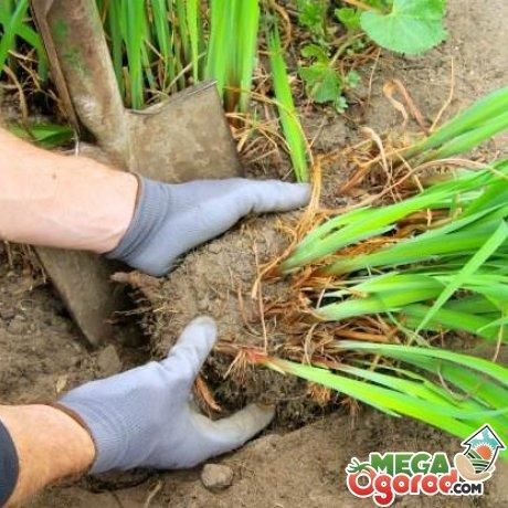 Расположение многолетних растений и уход за ними