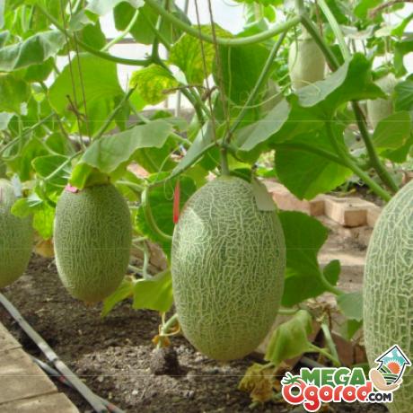 Условия выращивания дыни в теплице