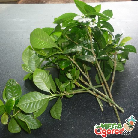 Размножение и особенности посадки растения