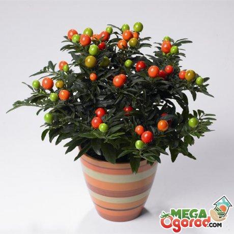 Цветок паслен: посадка и уход за растением в домашних условиях
