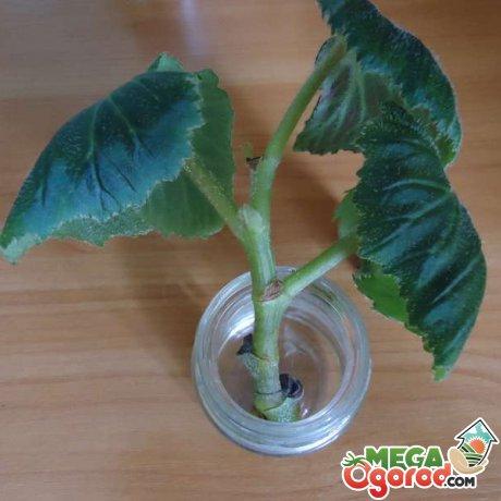 Способы размножения растения