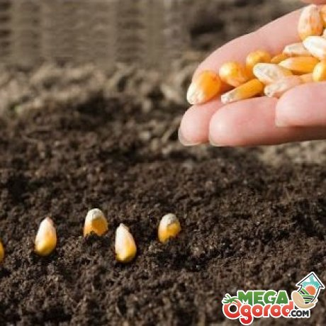 Посадка семян кукурузы в почву